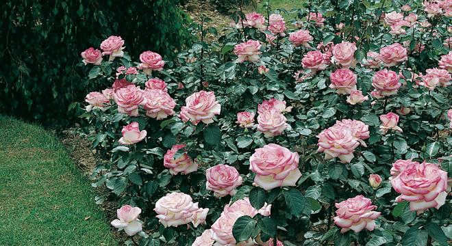 Siepi Da Giardino Fiorite : Siepi fiorite basse la guida completa per sceglierle u