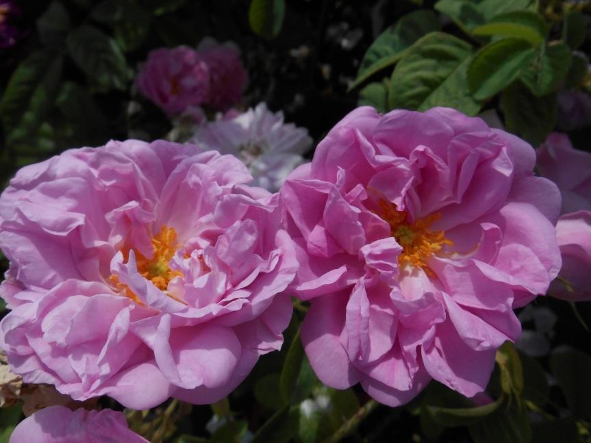 rosa kazanlik  damascena