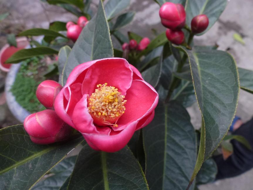 hoa_hai_duong_camellia_amplexicaulis